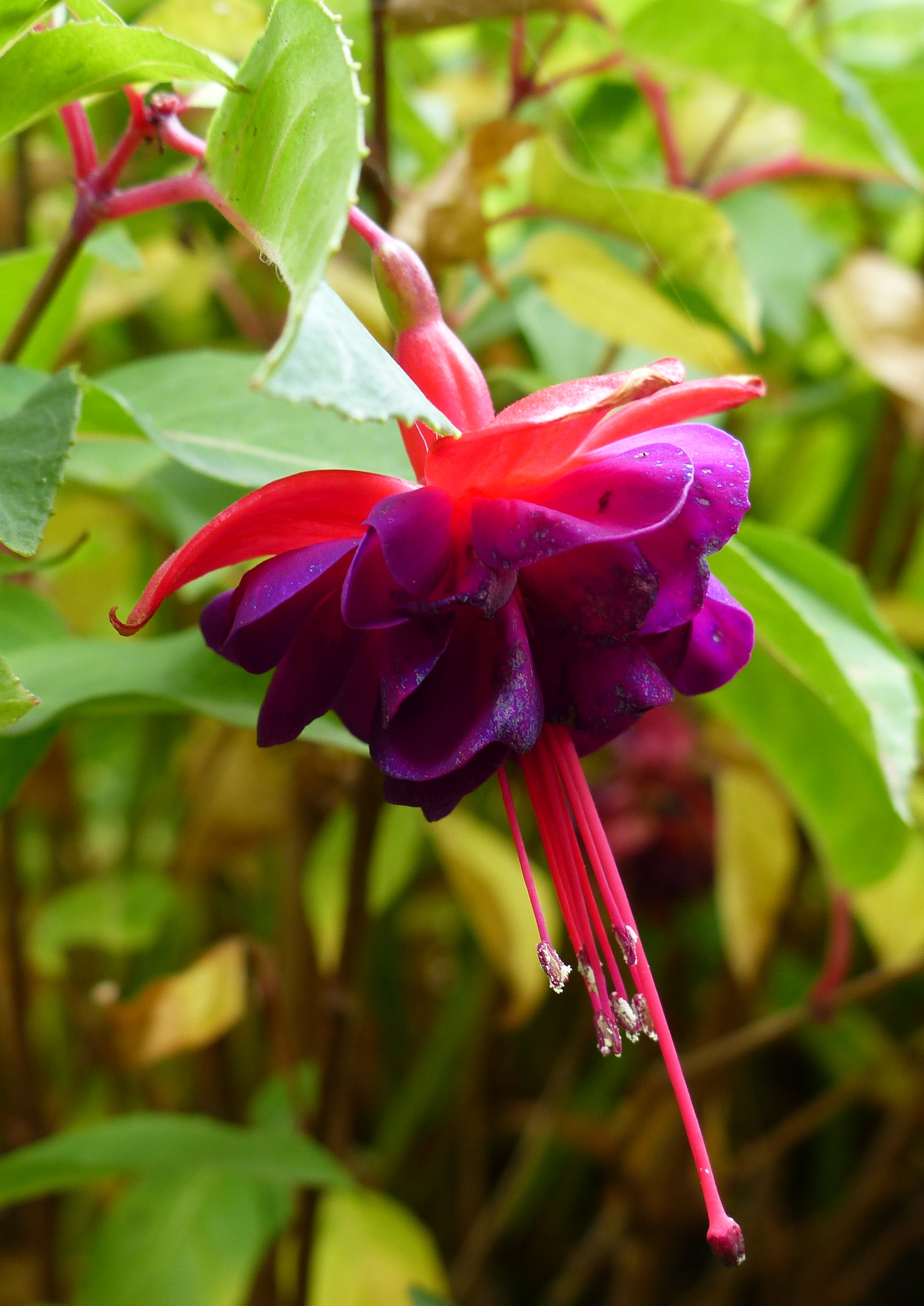 Fushia 'Royal velvet'