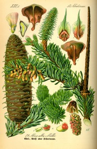 Abies alba - Thomé
