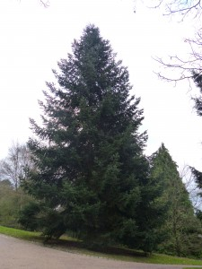 Abies cephalonica -port