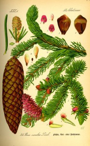 Picea abies - Thomé