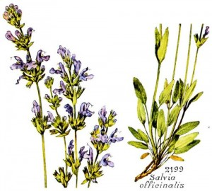 Salvia officinalis - Flore Bonnier