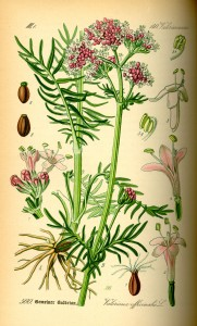 Valeriana officinalis - Flore Thomé