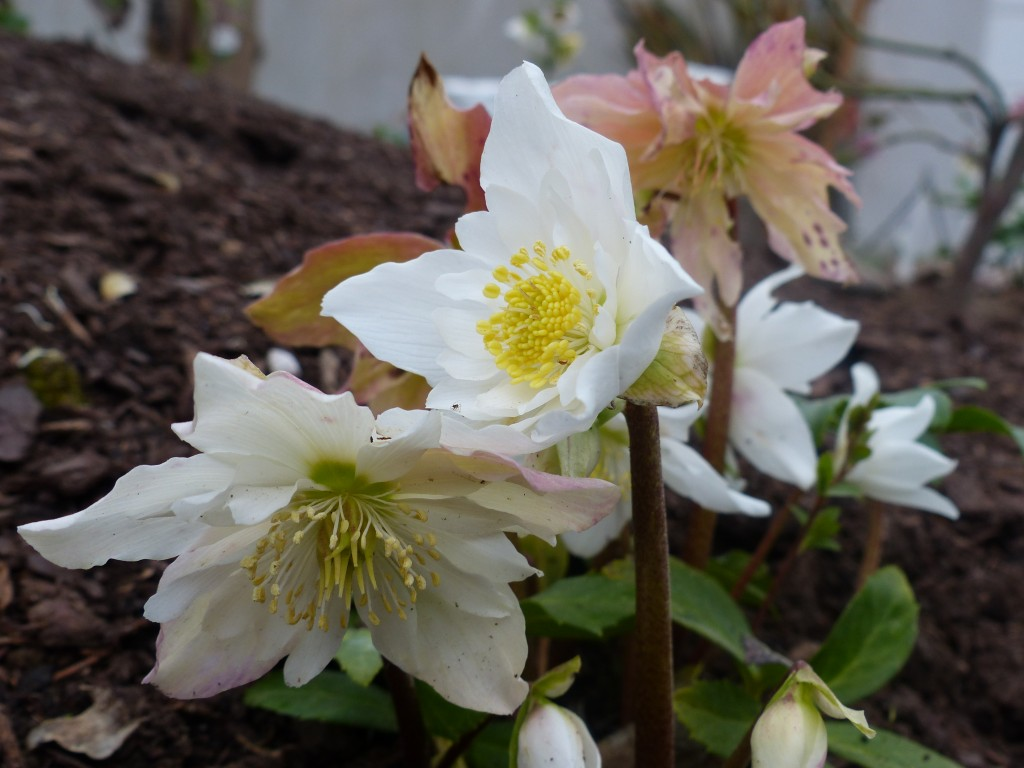 Helleborus orientalis Double fashion