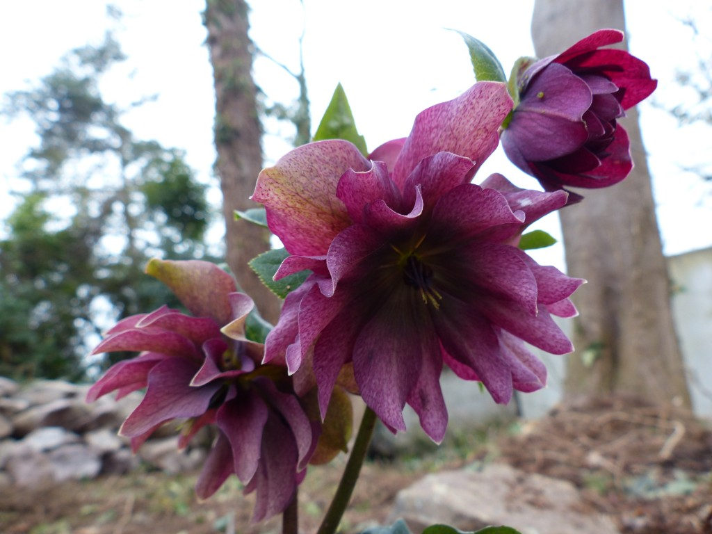 Helleborus orientalis Double flower red