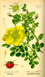 Illustration_Rosa_pimpinellifolia0
