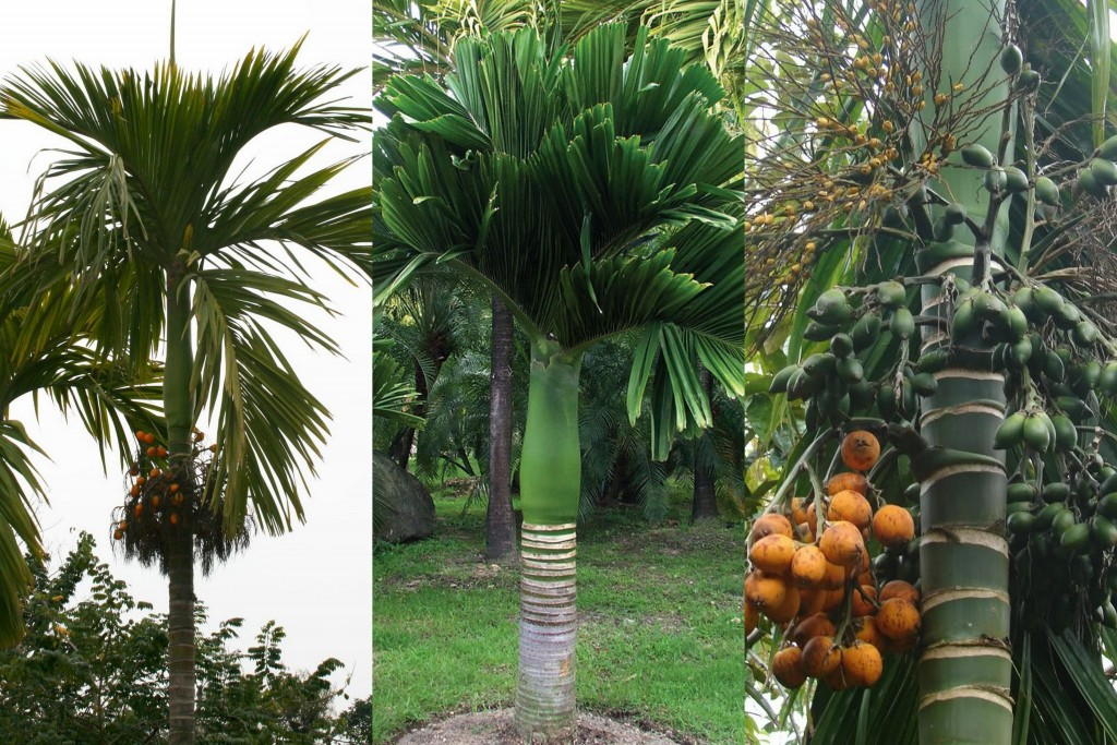 Areca catechu mix