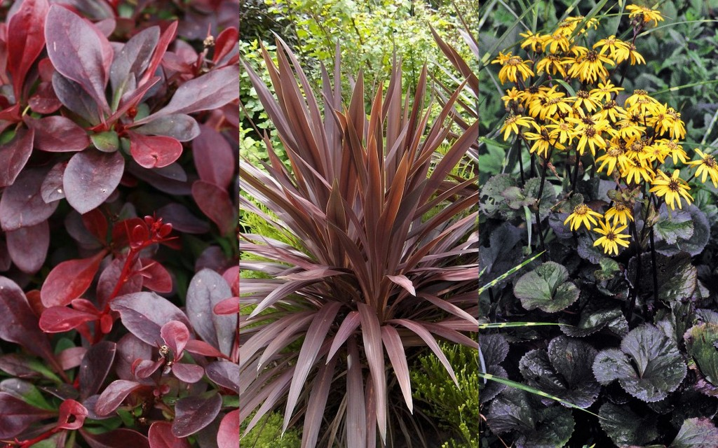 Feuilles noires Berberis atropurpurea, Cordyline aus. 'Red Star', Ligularia dentata 'Midnight Lady'