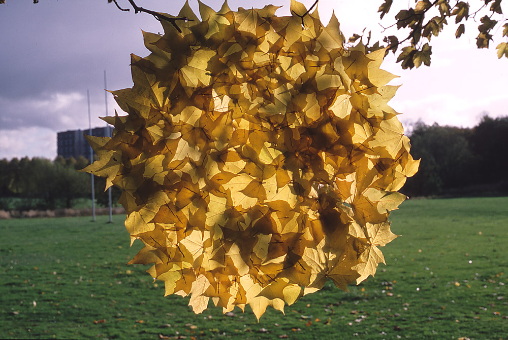Andy Goldsworthy - Sycamore patch - Glasgow 31 10 1986